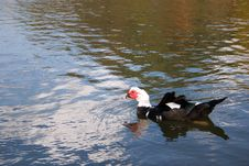 Ugly Duckling Royalty Free Stock Images