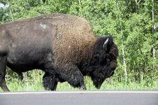 Free American Bison / Buffalo Stock Image - 6097941