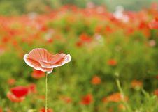 Free Orange Poppy Stock Images - 6098474