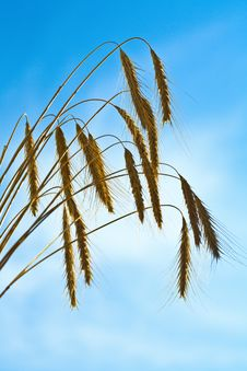 Free Wheat Crop Stock Images - 6098774