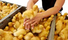 Free Duckling Is On The Woman Hands Royalty Free Stock Photos - 6099478