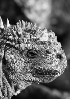 Free Marine Iguana Head Shot Black & White Royalty Free Stock Images - 6099639
