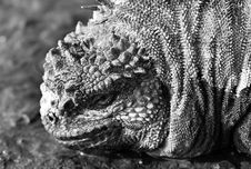 Free Marine Iguana Black & White Royalty Free Stock Images - 6099649