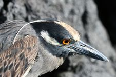 Free Yellow Crowned Night Heron Royalty Free Stock Photos - 6099658