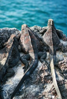 Free Marine Iguanas Lookout Stock Images - 6099664