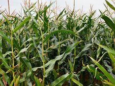 Free Green Corn Field Stock Images - 60921264