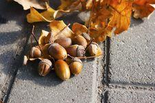 Free Acorns Lying On The Oak Leaves Stock Images - 60929734