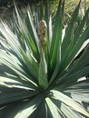Free A Yucca Plant In Central Park, Manhattan. Royalty Free Stock Image - 60997526