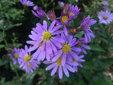 Dwarf Aster Flowers In Central Park, Manhattan. Stock Photos