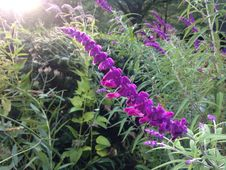 Free Exotic Salvia Leucantha (Sage) Flower In Shakespeare Garden In Central Park In Manhattan. Royalty Free Stock Images - 60998499
