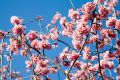 Free Spring Cherry Flowers Royalty Free Stock Image - 613676