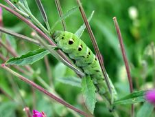 Free Caterpillar Of Butterfly Deilephila Elpenor On Epilobium Palustre. Royalty Free Stock Photo - 610055