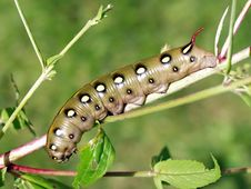 Caterpillar Of Butterfly Celerio Galii. Royalty Free Stock Image