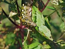 Free Caterpillar Of Butterfly Celerio Galii. Royalty Free Stock Photography - 610057