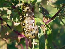 Free Caterpillar Of Butterfly Celerio Galii. Royalty Free Stock Photos - 610058