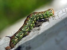 Free Caterpillar Of Butterfly Leucoma Salicis Stock Photos - 610143