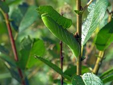 Free Caterpillar Of Butterfly Laothoe Populi On A Willow. Stock Photo - 610320