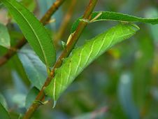 Free Caterpillar Of Butterfly Laothoe Populi On A Willow. Stock Images - 610324