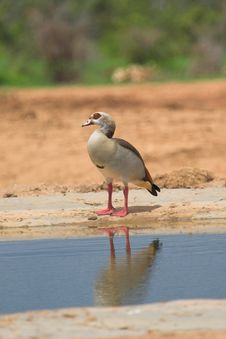 Free Egyptian Goose Royalty Free Stock Images - 610399