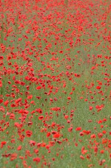 Free Poppy Field Stock Photos - 610663