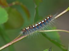 Free Caterpillar Of Butterfly Leucoma Salicis. Royalty Free Stock Photography - 610787