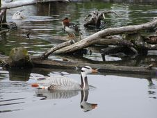 Free Striped-head Goose Stock Photos - 611733