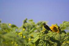 Free Blackbird On A Sunflower Royalty Free Stock Photos - 611968