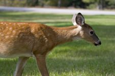 Free Deer Fawn Walking Royalty Free Stock Photo - 612075