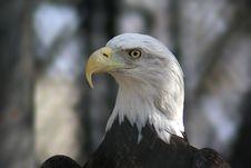 Free Bald Eagle Head Royalty Free Stock Photos - 612358