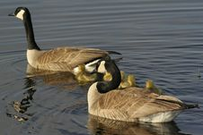 Free Family Of Geese Royalty Free Stock Photography - 612527