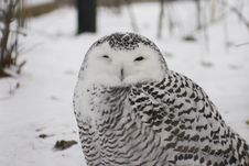 Free Snowy Owl Stock Photography - 612722
