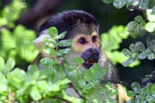 Free Squirel Monkey Stock Images - 612764