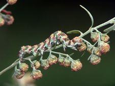 Free Caterpillar Of Butterfly Cucullia Absinthii. Stock Image - 612841