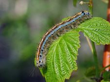Caterpillar Of Butterfly Malacosoma Neustria. Stock Photos