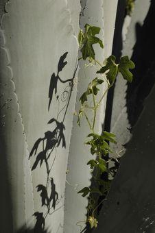 Free Cactus & Vine (V) Stock Images - 613014