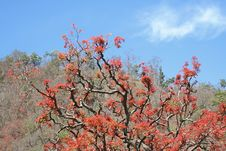 Free Spring In  India And Fresh Red Leaves Stock Images - 613314