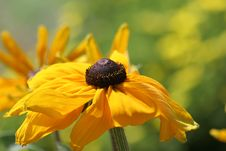 Free Brown Eyed Susan Stock Photo - 613610