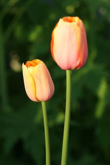 Free Peach Easter Tulips Royalty Free Stock Photo - 613695