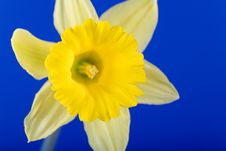 Free Daffodil Flower Royalty Free Stock Images - 613719