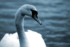 Free Swan3 Royalty Free Stock Images - 614099