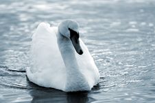 Free Swan5 Stock Image - 614101