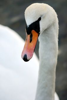 Free Swan9 Royalty Free Stock Photography - 614157