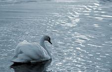 Free Swan12 Stock Image - 614161