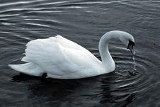Free Swan14 Stock Photos - 614163