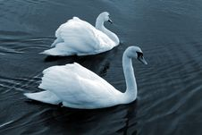 Free Swan16 Royalty Free Stock Photo - 614165