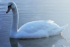 Free Swan20 Royalty Free Stock Photos - 614268