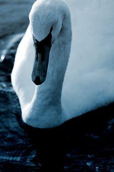 Free Swan21 Stock Photo - 614270