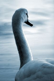 Free Swan23 Royalty Free Stock Photo - 614275