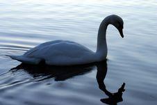 Free Swan25 Stock Photo - 614280