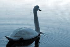 Free Swan27 Stock Photos - 614283